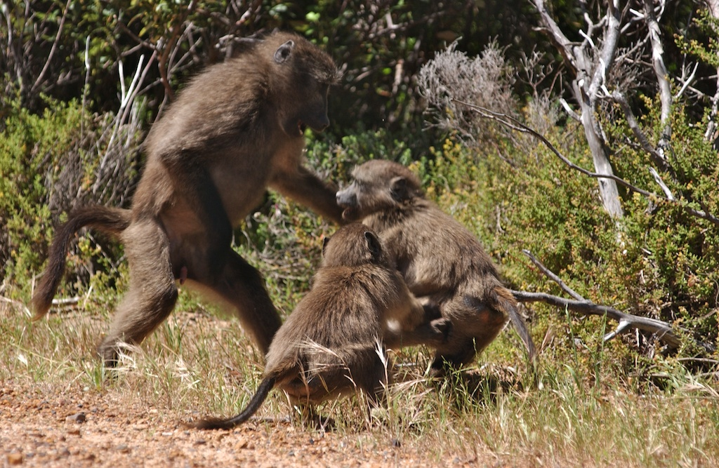 Baboons & Monkies